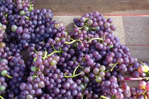 Fresh tables grapes Photo by Carole Cancler